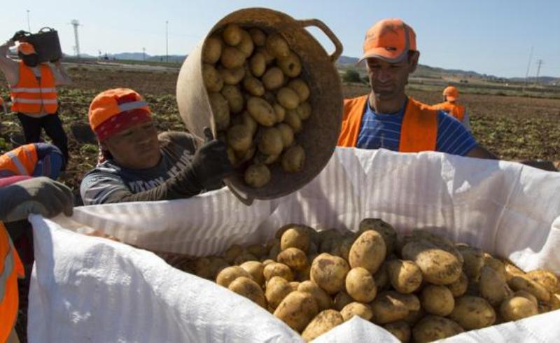 recogida-patatas-finca-kaze-620x349abc