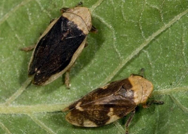 Philaenus spumarius, insecto vector de transmisión de la Xylella fastidiosa