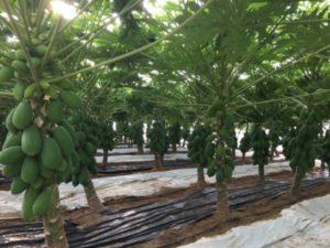 La papaya tiene un marco de plantación adecuado de entre 2.000 y 2.500 plantas por hectárea.