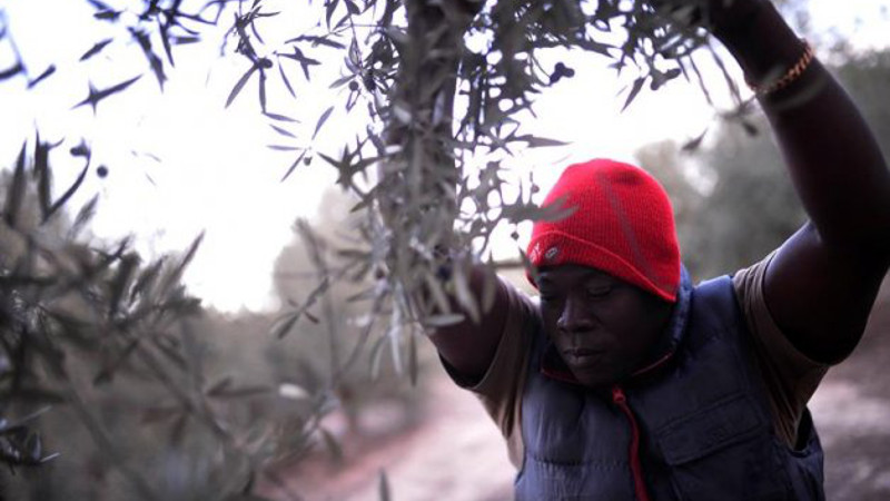 temporero origen africano recoge aceitunas