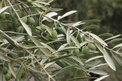 tratamiento del olivar