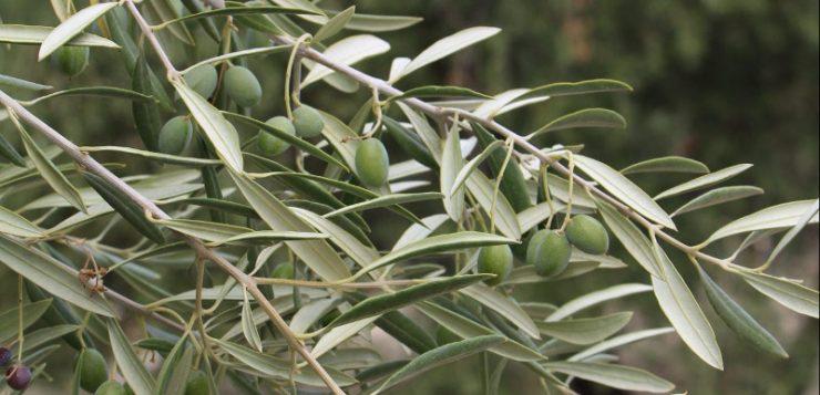 La importancia de una formulación de calidad en el tratamiento del olivar