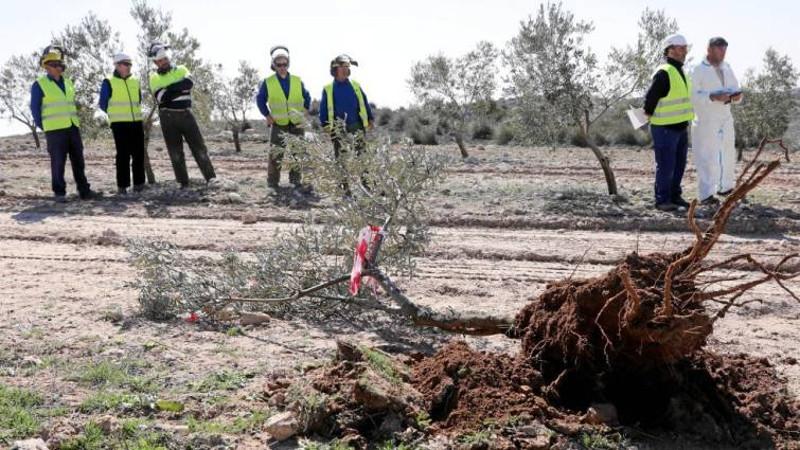 Xylella olivo afectado