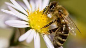 abeja-flor