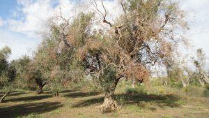 olivo afectado xylella fastidiosa