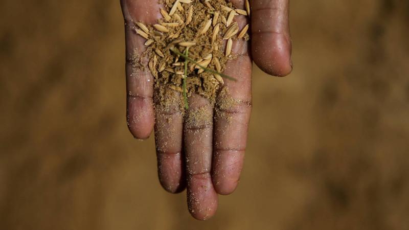 semillas-arroz
