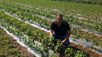 plantacion-pimientos