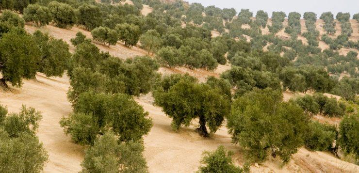 ¿A qué intereses responden las previsiones de producción mundial de aceite de oliva?