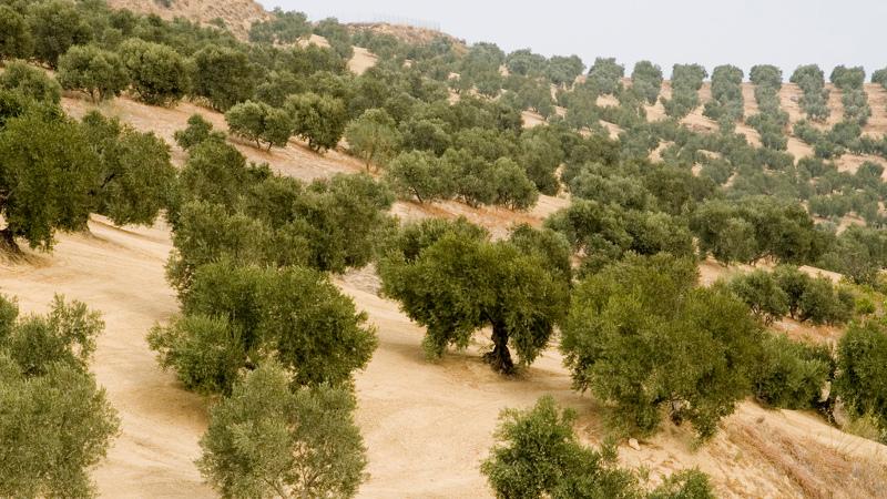 campos-olivos