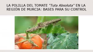 polilla-tomate