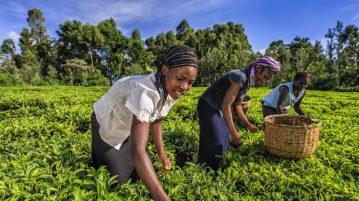 cultivo-te-kenya