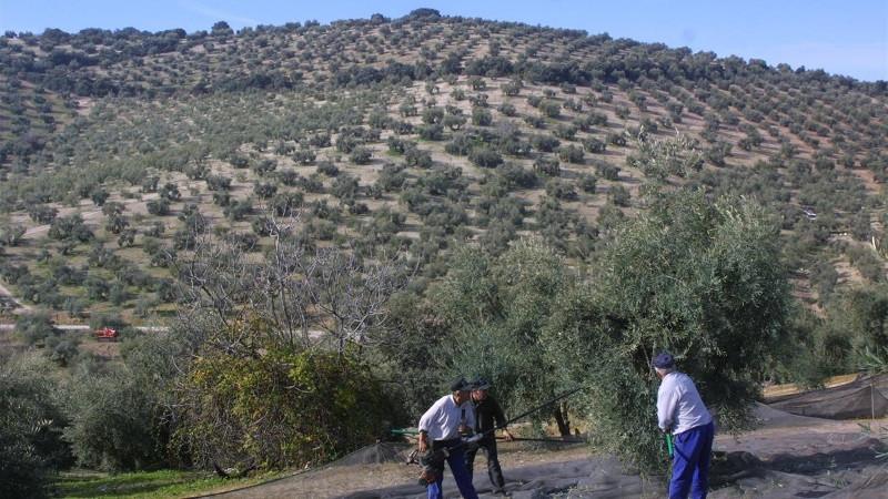 olivar-cordoba