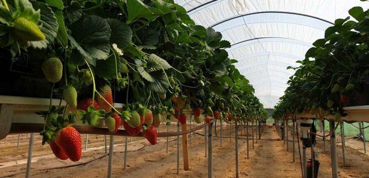 El ahorro de agua es necesario para el cultivo de las fresas y otros frutos rojos