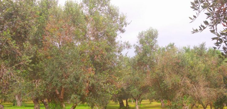 Alerta por la Xylella: Europa advierte de que la bacteria de los olivos no tiene cura