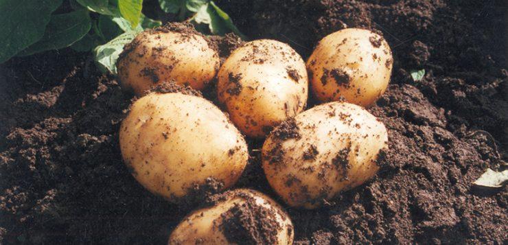 Andalucía | Las bondades de la patata nueva andaluza