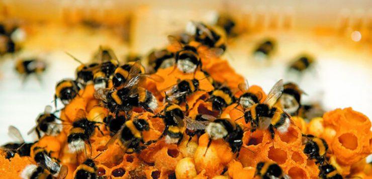 Los abejorros polinizadores comerciales, posible 'amenaza' para los autóctonos