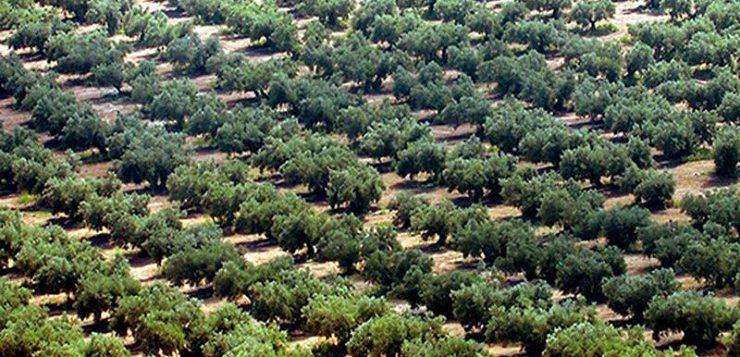 Los 64 millones de olivos jiennenses, el mayor bosque humanizado del planeta