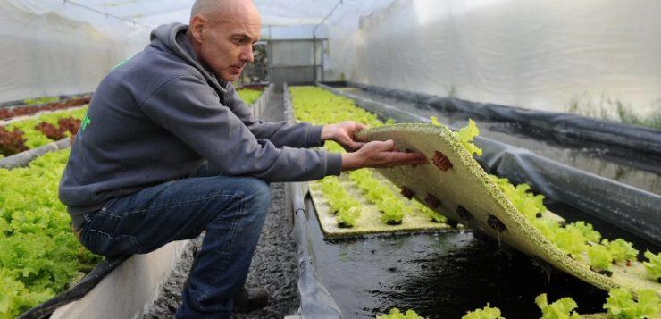 Cría peces y cultiva lechuga en el mismo invernadero