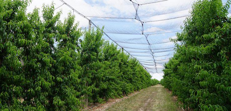 El silicio como fertilizante y bioestimulante agrícola