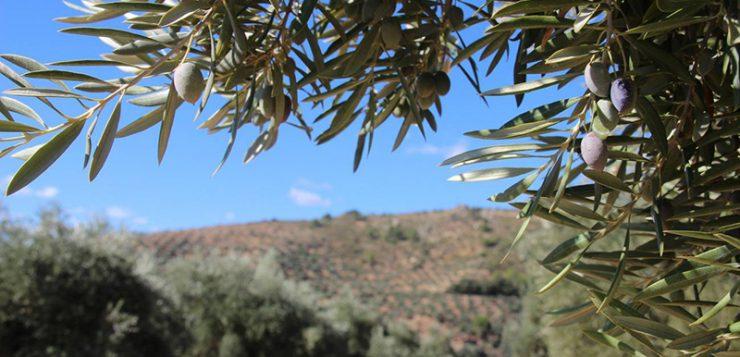 La plaga de 'Xylella fastidiosa' amenaza la producción europea de olivos
