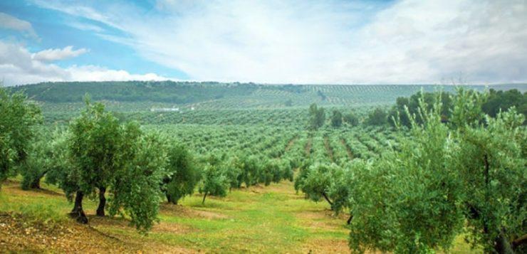 Lanzan una aplicación para controlar fertilizantes y agua en el riego del olivar
