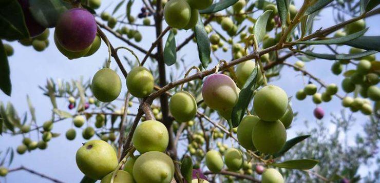 La mosca del olivo tiene una alta resistencia genética a los insecticidas